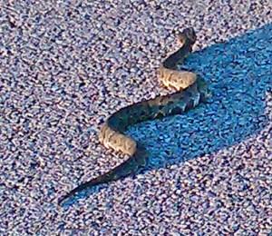 Western Cottonmouth (Agkistrodon piscivorous leucostoma); Robert B., Jack Brooks Park, Houston area, Texas--08.08.2010