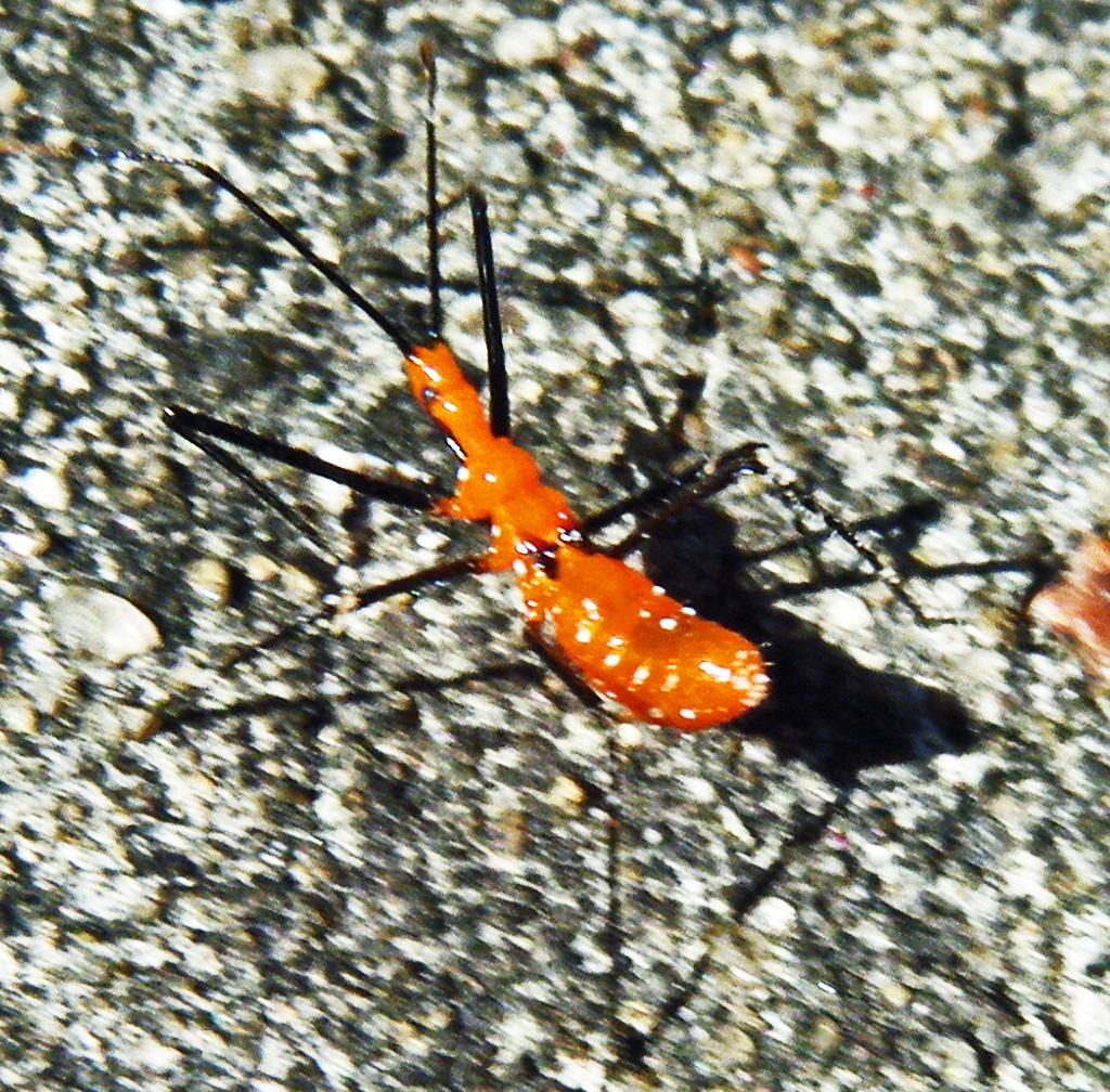 Reduviidae: Milkweed Assassin Bug (Zelus longipes); Mark Turvey, League City, TX--11 NOV 2010