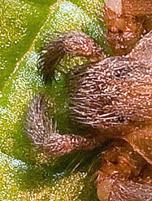 Sicariidae: Brown Recluse Spider (Loxosceles reclusa); Tom S., Lake Travis, Texas--12.09.2008