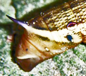 Sphingidae: Tersa Sphinx Moth Caterpillar (Xylophanes tersa); Tom Sinclair, League City, TX--12.21.2010