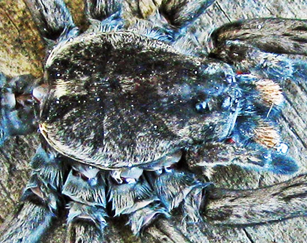 Lycosidae: burrowing wolf spider (Geolycosa, Montgomery 1904); dorsal cephalothorax, Bernard H., Lufikin, TX--6 Nov 2010