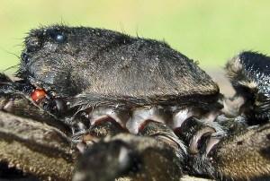 Lycosidae: burrowing wolf spider (Geolycosa, Montgomery 1904); lateral cephalothorax; Bernard H., Lufkin, TX--6 Nov 2010