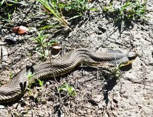 Colubridae: Xenodontinae: eastern hognosed snake (Heterodon platirhinos); frontolateral view, Corinna R., Austin TX--25 Apr 2010