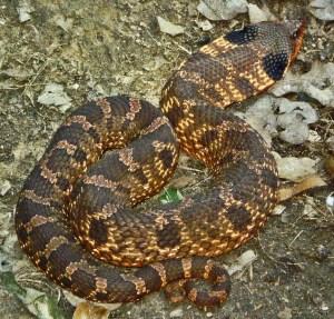 Colubridae: Xenodontinae: eastern hognosed snake (Heterodon platirhinos): brown blotched female, Charlotte S., Boerne, TX---17 April 2010