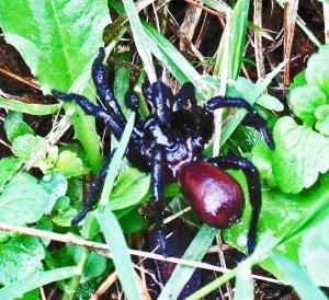 Cyrtaucheniidae (Eucteniza spp.): Wafer Trapdoor Spider; dorsal view of spider in grass; Stacey, Austin TX--01.09.2011