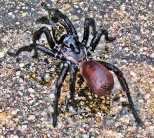 Cyrtaucheniidae (Eucteniza spp.): Wafer Trapdoor Spider; dorsolateral view of spider on pavement; Stacey, Austin TX--01.09.2011