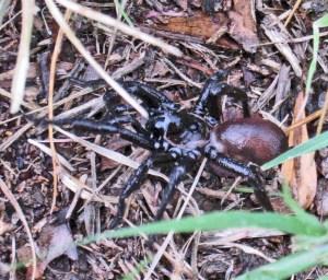 Cyrtaucheniidae (Eucteniza spp.): Wafer Trapdoor Spider; lateral view of spider in grass; Stacey, Austin TX--01.09.2011