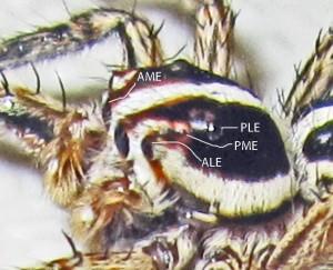 Salticidae: Pantropical jumping spider (Plexippus paykulli), Male; Head & eyes; SE Texas Marina--20 Sep 2010