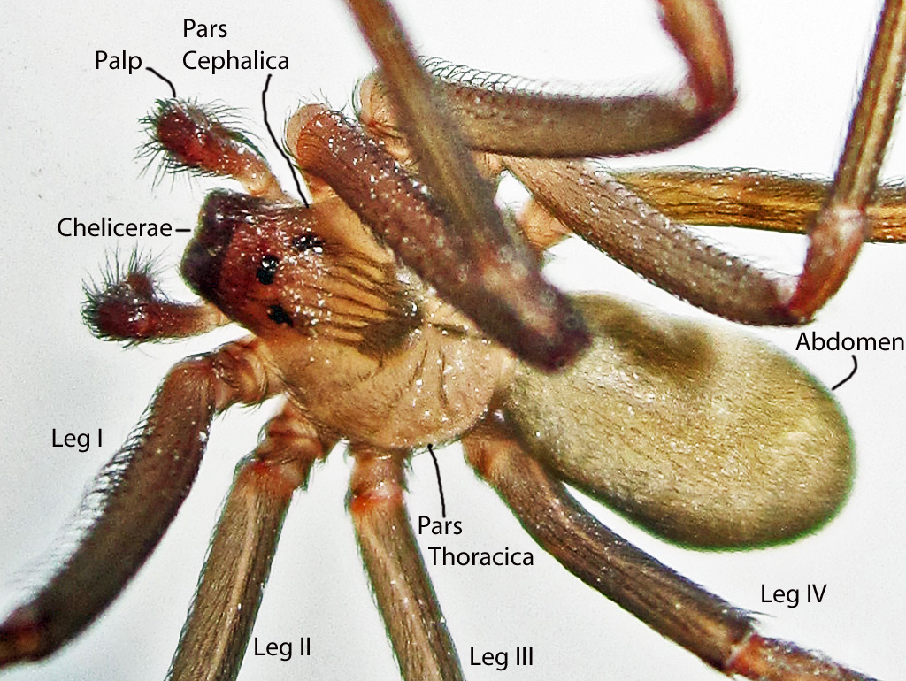 Brown Recluse Spider Anatomy | Bugs In The News