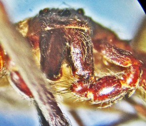 Sicariidae: Brown Recluse Spider (Loxosceles reclusa); Male, frontal view of face, chelicerae, and left pedipalp; collected on 15 Oct 2010 at Home of Jane T., Joplin, MO--Photographed on 08 Dec 2010