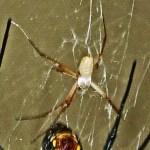 081510 175057 Araneidae: yellow garden spider (Argiope aurantia); dorsal male; Amy P., Ponder TX