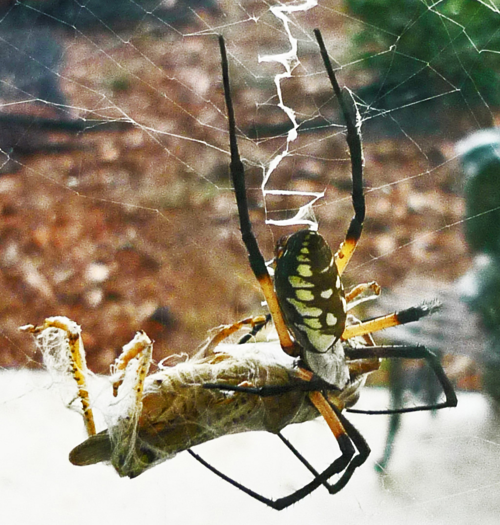 Male and Female Yellow garden spiders in Texas | Bugs In The News
