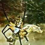 081510 185640 Araneidae: yellow garden spider (Argiope aurantia); dorsal female, wrapping grasshopper; Amy P., Ponder TX