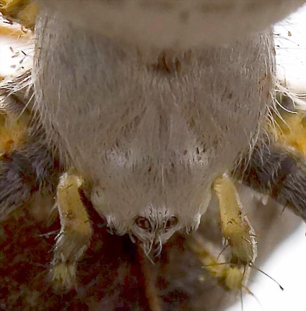 Araneidae: banded garden spider (Argiope trifasciata); dorsal carapace; Stephen M., Justin TX---21 Jul 2007