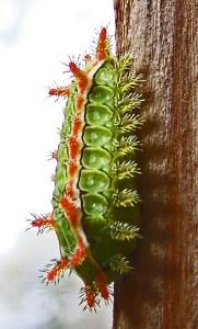 Limacodidae: Spiny Oak Slug (Euclea delphinii); lateral body, Janet FB, Cedar Creek, TX---05 Feb 2011