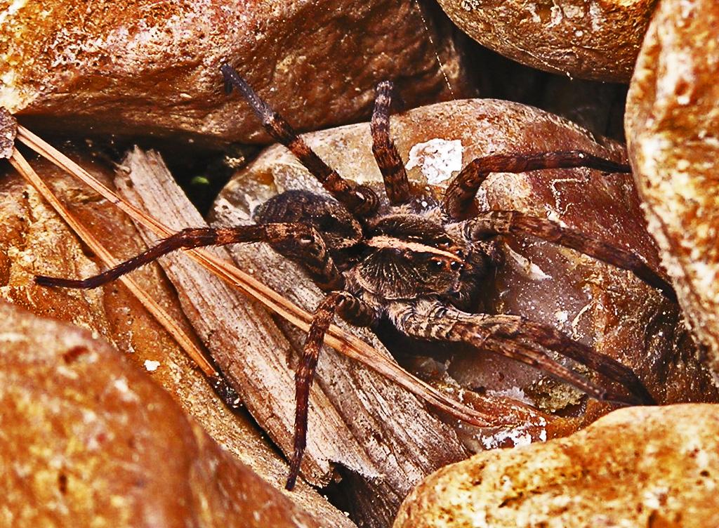 Lycosidae: field wolf spider (Hogna lenta); dorsal body; Graham M., East Texas---30 Mar 2008