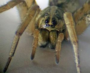 Lycosidae: female, frontal view; Marvin W., Kempner TX---05 Dec 2008