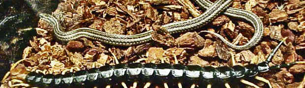Giant Centipedes in Texas
