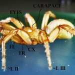 Cyrtaucheniidae: Myrmekiaphila; lateral body, annotated; Dave P,; Cresson, TX---1 Mar 2011
