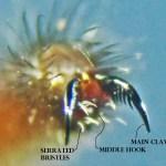 Cyrtaucheniidae: Myrmekiaphila; Leg I claw, annotated; Dave P,; Cresson, TX---1 Mar 2011