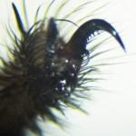 Cyrtaucheniidae: Myrmekiaphila; leg III tarsal claw; Dave P., Cresson, TX---2 Mar 2011