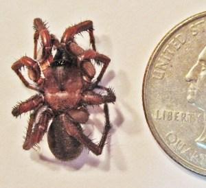 Myrmekiaphila trapdoor spider; male, dorsum; Jeannette H., Mobile AL --- 10 Mar 2011
