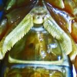 Striped bark scorpion (Centruroides vittatus); pectens and genital operculum