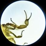 Striped bark scorpion (Centruroides vittatus); 1 June 2011, Buda, TX; ventral view left pedipalp
