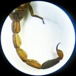 Striped bark scorpion (Centruroides vittatus); 1 June 2011, Buda, TX; metasoma