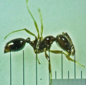 Hymenoptera: Formicidae: Little black ant (Monomorium minimum); Round Rock, TX --- June 2011