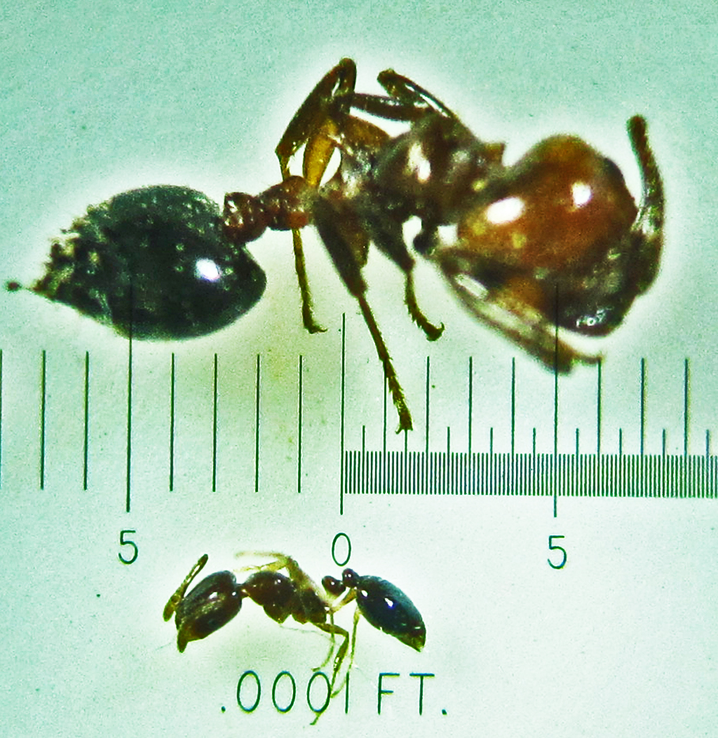 Little black ants in Round Rock, Texas | Bugs In The News
