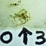 Sicariidae: Loxosceles reclusa 03 juvenile habitus: SW Austin TX 78735 --- 6 May 2011