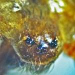 Sicariidae: Loxosceles reclusa: Brown recluse adult male, anterior head; S. Austin TX 78739 --- 2 May 2011