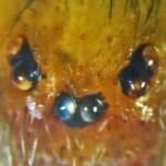 Sicariidae: Loxosceles reclusa 08 adult male, eyes: SW Austin TX 78735 --- 10 July 2011
