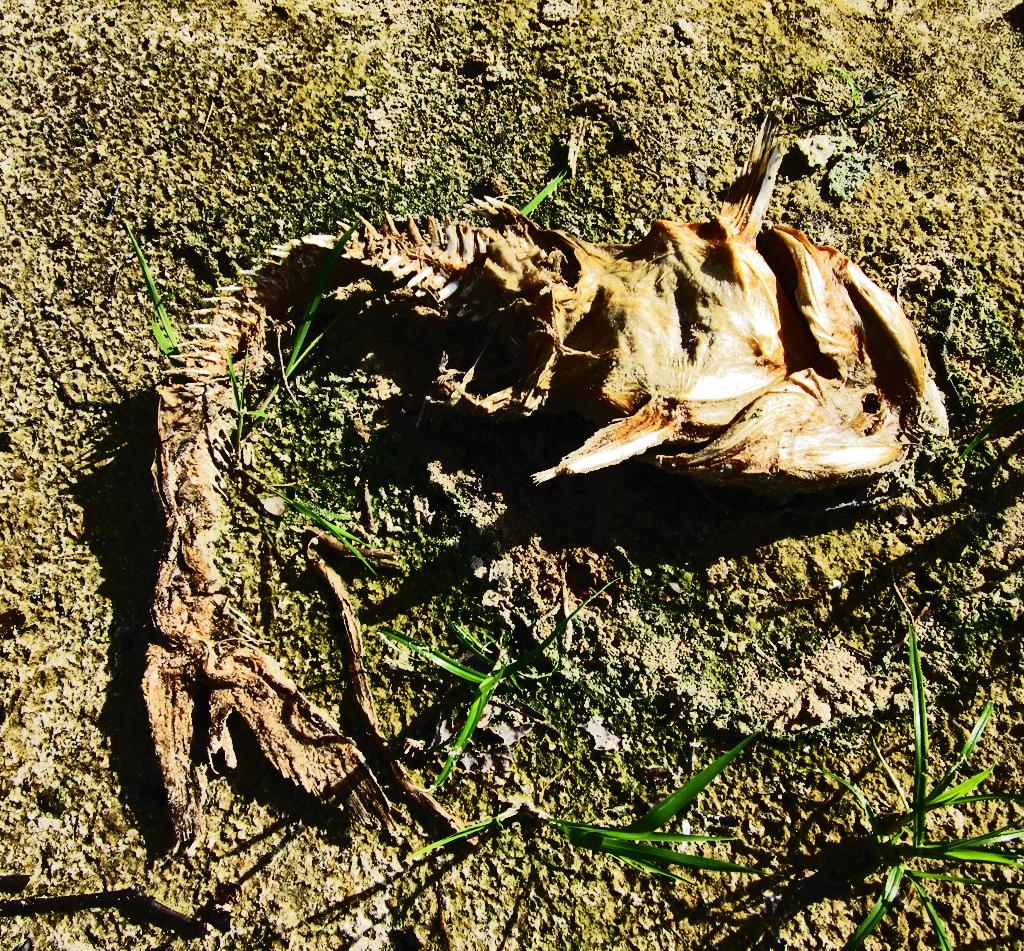 Lake Houston: Fish corpse in dry lake bed
