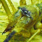 Solifugae: Camel Spider from Afghanistan, frontodorsolateral prosoma --- Jason C., 21 July 2011