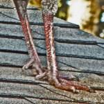 Meleagris gallopavo: Wild Turkey male, feet and legs; Temple, TX --- 22 Aug 2011