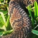 Viperidae: Western cottonmouth (Agkistrodon piscivorus, Lacépède 1789), forebody; Tammy D., Santa Fe, TX --- 28 Aug 2011