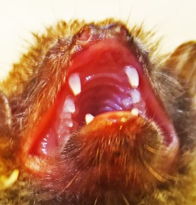 Chiroptera: Molossidae: Mexican Free-tailed bat (Tadarida brasiliensis); Mouth gape; Amy G., Georgetown, TX --- October 2011