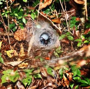 Agelenidae: Marney M., Sam Houston National Forest, Texas; 3 July 2009 --- Web and Surroundings