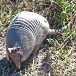 Nine-banded Armadillo (Dasypus novemcinctus); Hutto, TX, 17 Nov 2011 --- Anterior Body