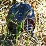 Nine-banded Armadillo (Dasypus novemcinctus); Hutto, TX, 17 Nov 2011 --- Posterior