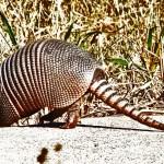 Nine-banded Armadillo (Dasypus novemcinctus); Hutto, TX, 17 Nov 2011 --- Crossing Road