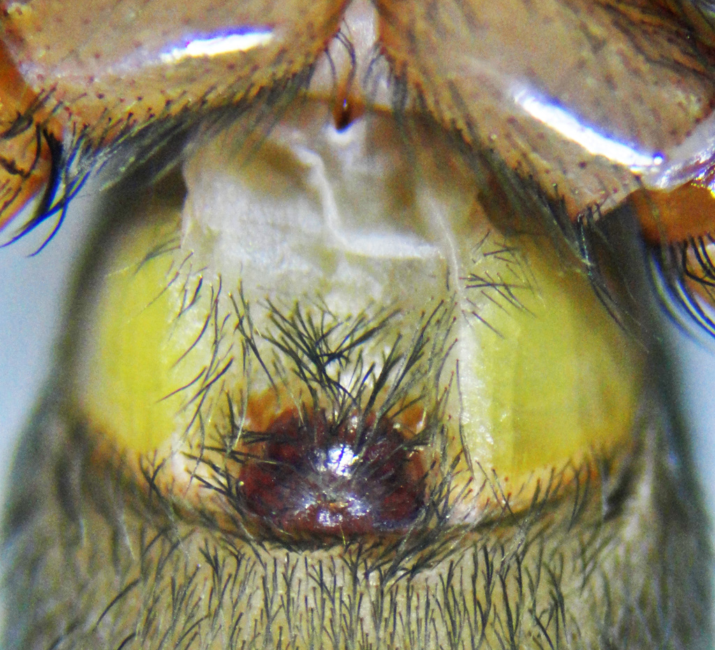 Brown Spider; Annie P,, NW Austin, TX; Anterior Ventral Opisthosoma
