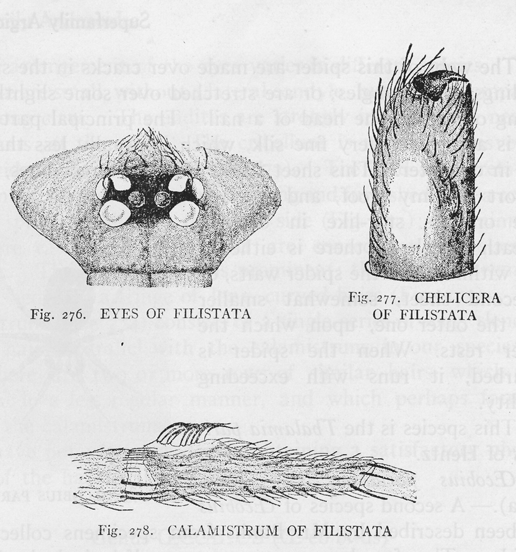 Southern House Spiders In Texas Bugs The News Snake Anatomy Diagram Bugsinthenews Figs 276 277 278 P 290 Of Spider Book