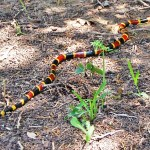 Texas Coral Snake (Micrurus fulvius tener); Body outstretched; Jenny C., 06Apr 2012, Nolanville TX