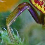 Thomisid Crab Spider female: right leg I & II; Regina Weishuhn, Grand Prairie, TX --- 16 April 2012