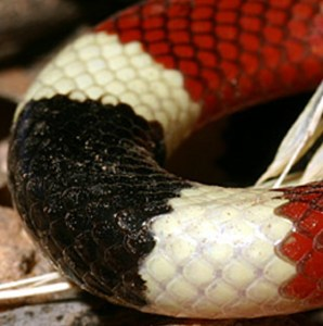 Arizona Coral Snake (Micruroides euryxanthus euryxanthus); mid-body markings (Courtesy of Gary Nafis)