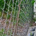 Texas rat snake (Elaphe obsoleta lindheimeri) threading chain link fence: Tammy D., Alvin TX --- 16 April 2012