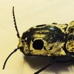 Eyed click beetle (Alaus oculatus); pronotum